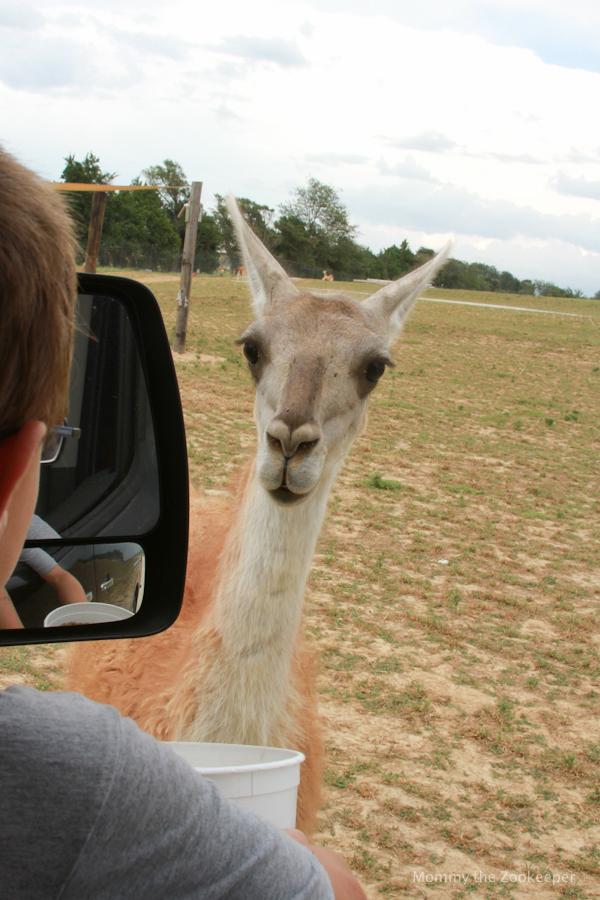 llama waiting to be fed