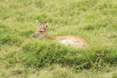 spotted deer lying in grass